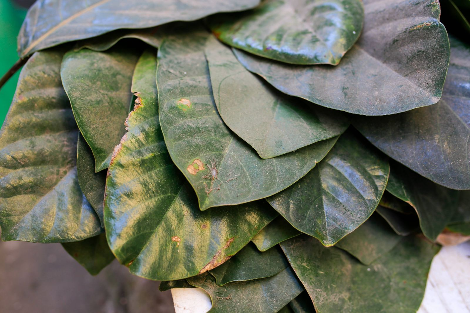 Mr. Hung spent more than a year to find out the suitable leaves. After testing many kinds of leaves, the suitable ones are the leaves of Terminalia catappa from Binh Dien Mountain, and Sri Lanka Bodhi leaves.