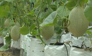 The first high-tech planted cantaloupes in Hue