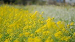 Brilliant are yellow mustard flowers