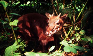 Breeding the saola in Bach Ma National Park