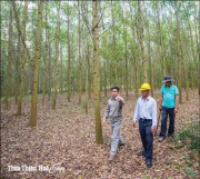 No worry about plantation forest output