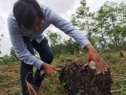 Thua Thien Hue's nearly 3,000m2 of special-use pine forest illegally cleared