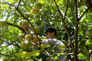 Picking thanh tra pomelos at Thuy Bieu gardens