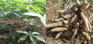 Successful testing of new cassava varieties
