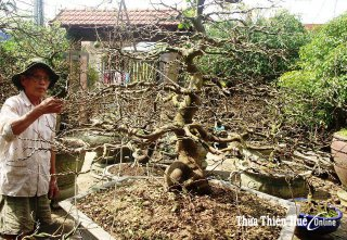 Caring for apricot blossoms to welcome Tet