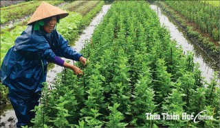 Dien Hoa Chrysanthemums in Blooming Season