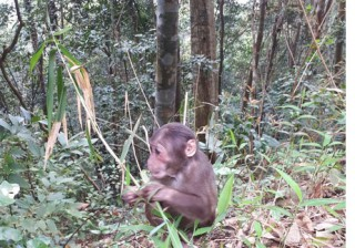 Release of two stump-tailed macaques into natural environment