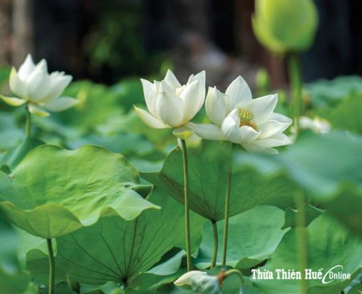Hue: Attracting tourists with the lotus festival