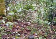 A rare pangolin released back to natural environment