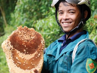 Harvesting forest honey