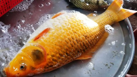"""Giant"" golden carp caught"