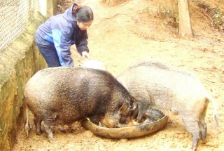 "Pa Co young man ""gave birth to"" boar-breeding job"