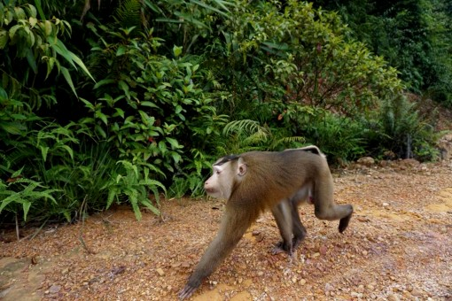 Thừa Thiên Huế province looks for pig-tailed macaque