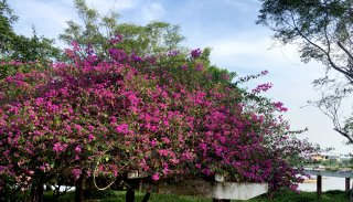The glamor of bougainvillea