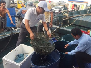 Releasing more than 1,800 mature tiger shrimp into Thuan An sea