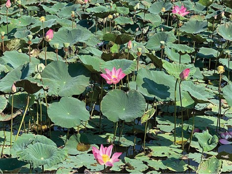 Gorgeous lotus in the Ancient Capital