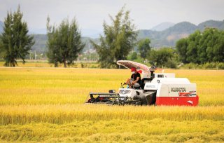 Rice harvesting during the pandemic
