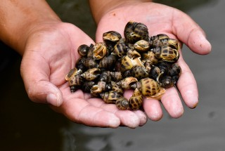 Commercial sweet snails - A new direction for inefficient shrimp ponds