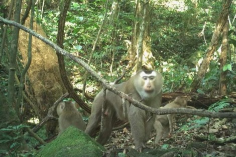 Discovering pig-tailed macaque after 2 years being released back to forest through camera trap