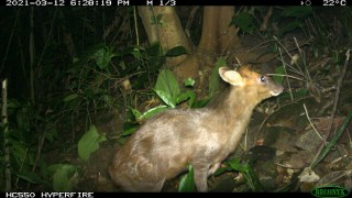 Endangered muntjac spotted in Phong Dien Nature Reserve