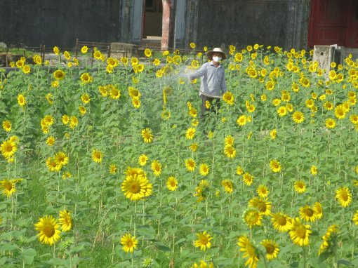 Planting 5,000 sqm of sunflowers inside the Imperial Citadel