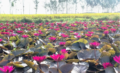 Bright water lily flowers at noon
